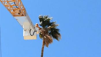 Robby Palm Tree Maintenance